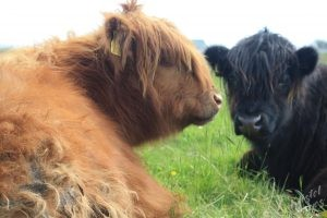 Making friends with the Hairy Cows (Heery Coos)