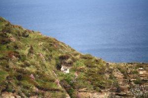 Birds nesting at Dunnet Head