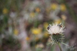 Cedar Breaks National Monument: Bees on Thistle