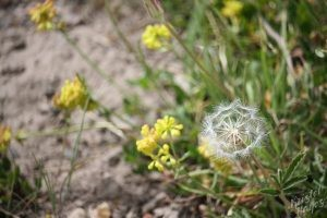Cedar Breaks National Monument: Dandelion