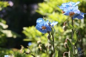 Edinburgh Botanical Garden: Blue Flowers