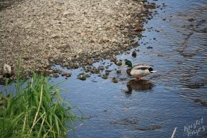 Edinburgh: Duck below Cannonmills Bridge
