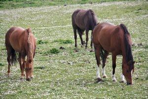 Horses Near Skara Brae