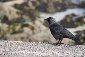 Iona: Local Raven