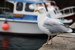 Seagull on the Waterfront in Stromwall