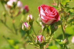 Deering Oaks Rose Circle: Pink Buds