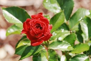 Deering Oaks Rose Circle: Rich Red & Rain Kissed