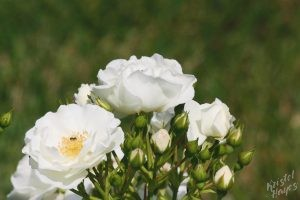 Deering Oaks Rose Circle: White Cluster