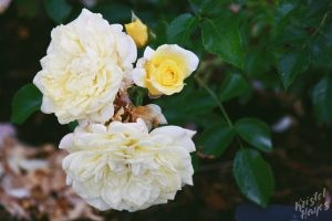 Deering Oaks Rose Circle: Yellow