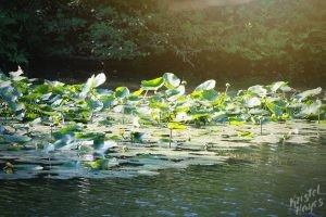 Lilly Pads on Stroudwater River