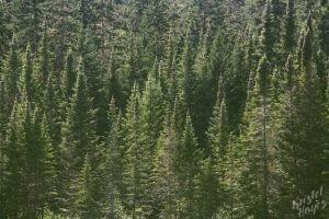 Evergreens Along the Allagash
