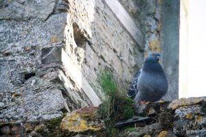 Charles Fort Pigeon-Kinsale, Ireland