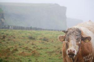 Muddy Bull-Cliffs of Moher, Ireland