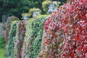 Shrub Covered Walls-Gardens at Royal Hospital Kilmainham, Dublin