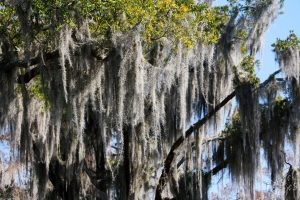 NOLA | Swamp Tour | Spanish Moss in the Sun