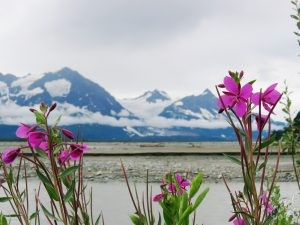 Fireweed and View