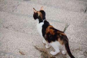 Calico Kitten, Dubrovnik Croatia