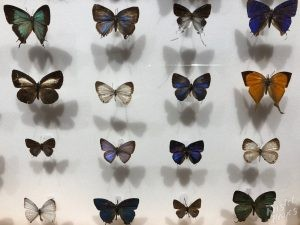 Dubrovnik Museum of Natural History, Butterflies