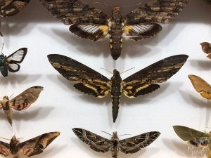 Dubrovnik Museum of Natural History, Chubby Moths