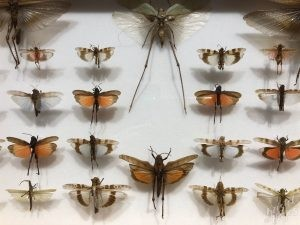 Dubrovnik Museum of Natural History, Grasshoppers With Wings