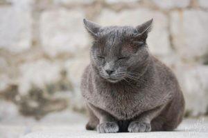 Grey Cat Enjoying the Ocean Breeze, Dubrovnik Croatia