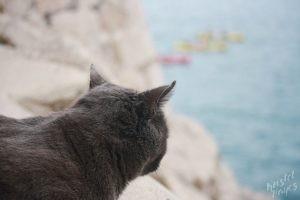 Grey Cat Watching Kayakers, Dubrovnik Croatia