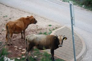Hitchiking Cows, Dubrovnik Croatia