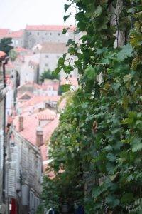 Ivy, Old City, Dubrovnik Croatia