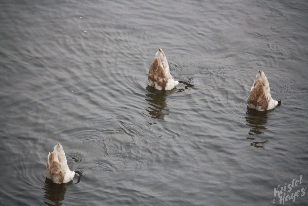 Swan Butts